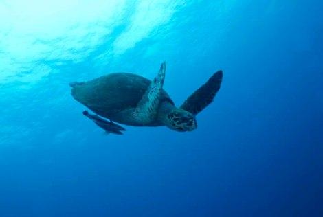 Turtle. Koh Tao