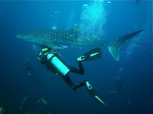 Whale Shark. Koh Tao