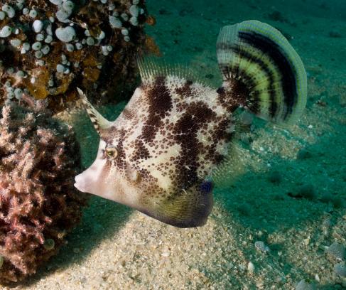 Juvenile File Fish. Koh Tao